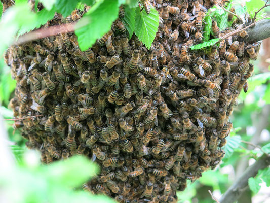 Essaim d'abeilles en forêt (Source Pixabay)