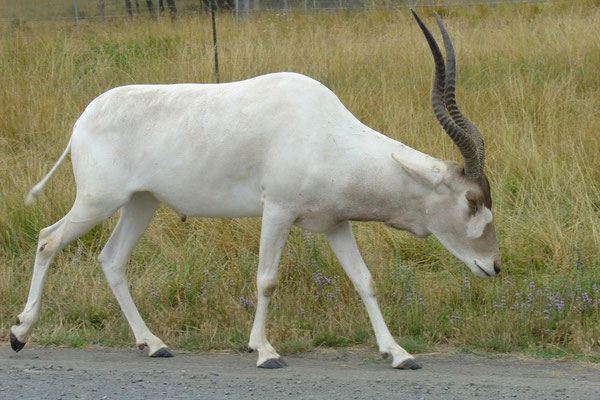 Addax animaux afrique (Source Pxhere)