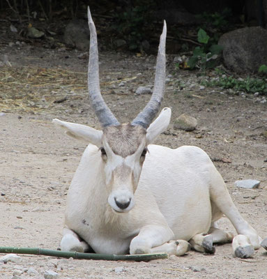 Addax (Source Public Domain Pictures)