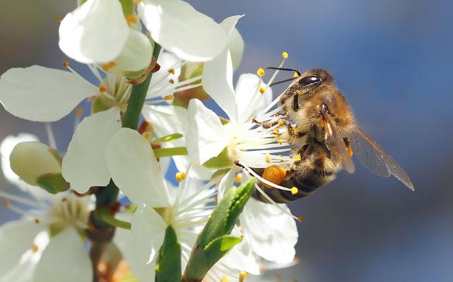 Abeille butinant une fleur (Source Pixabay)