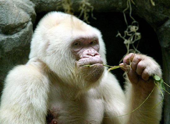 Gorille albinos