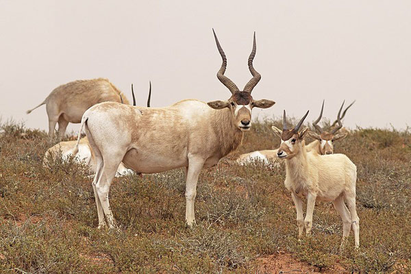 Addax sous licence Creatice (Commons 4.0 Charles J. Sharp)
