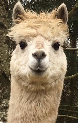 Bonito ist mein Name. Ich bin Dauergast, bzw. zur Pension hier. Petra und Wolfgang haben in ihrem Garten in Hamburg keinen Platz. Ich komme übrigens auch von Wittekind Alpakas. Als alter Hase mit 12 Jahren bin ich recht gelassen.