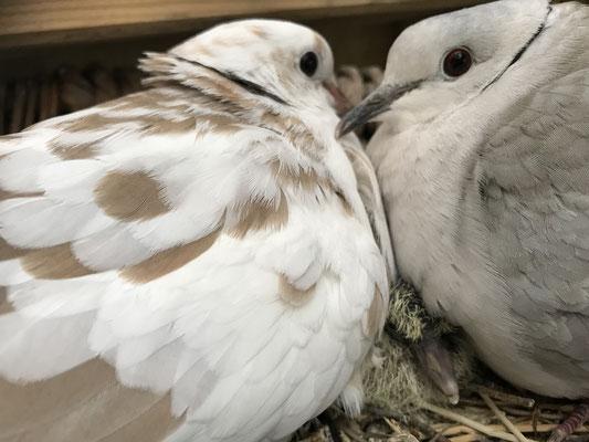 Aus den beiden Eiern sind zwei Küken geschlüpft, die in dem Nest von ihren Eltern versorgt werden.