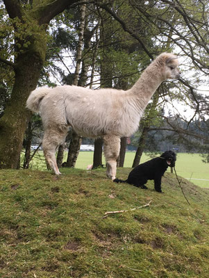 Und als Herdenschutzhund passt der Zwerg ganz toll auf die Alpakas auf...:-)