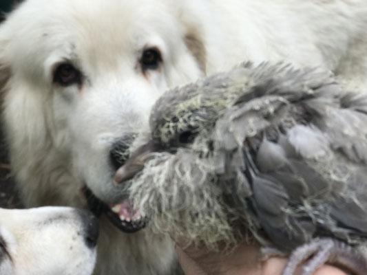 Über den komischen Vogel wundert sich Herdenschutzhund Carlo, der ihn künftig beschützen wird.