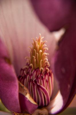 Daniel Brüser: Magnolienblüte