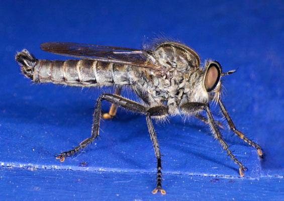 Die große Mücke