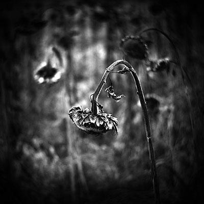 Claus Fries: Dark Sunflower