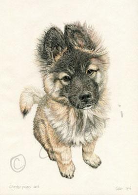 Chester puppy