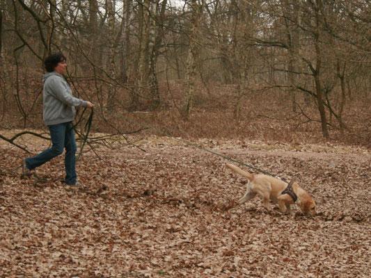 Hat der Vierbeiner sein Trail-Signal erhalten, darf er loslegen. Zügig nimmt diese Labradorhündin hier Spur auf.
