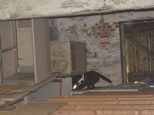 Seine Nase führt ihn in eines der Abbruchgebäude
