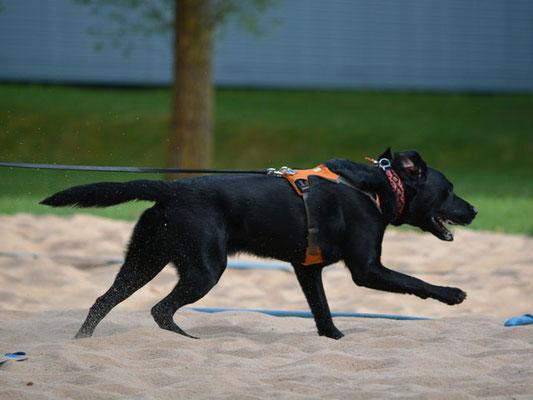 In gewohnter Manier gibt der Labrador Vollgas