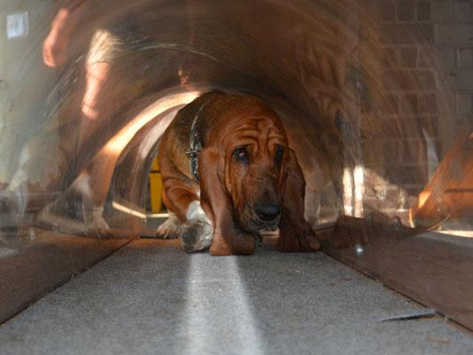 Der Tunnel hat genau Basset-Höhe!