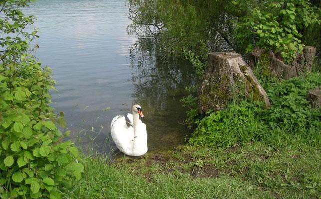 Hallwilersee-Impression mit Schwan