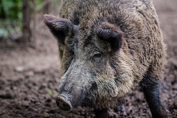 Wildschwein im Wildgehege Jägersburg