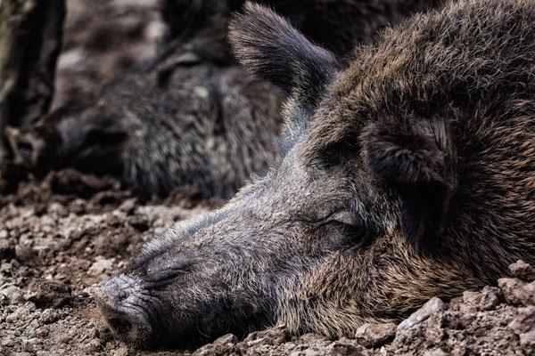 Ausruhen - Wildschwein im Wildgehege Jägersburg