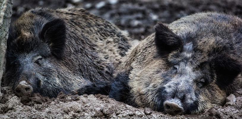 Siesta - Wildschweine im Wildgehege Jägersburg