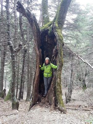 Immer wieder stehen am Wegrand bizarr geformte oder hohle Bäume.