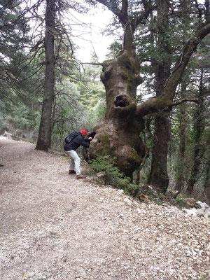 """Seiner Form wegen nennt man diesen Baum """"Flaschenbaum""""."""