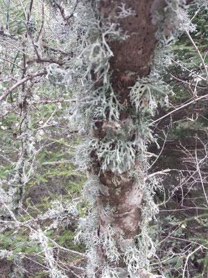 Die Flechten in der Nahansicht. Manche Bäume vertragen den Bewuchs aber nicht und sterben daran.