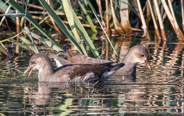 Teichralle Weibchen  - sogar 2 Stück