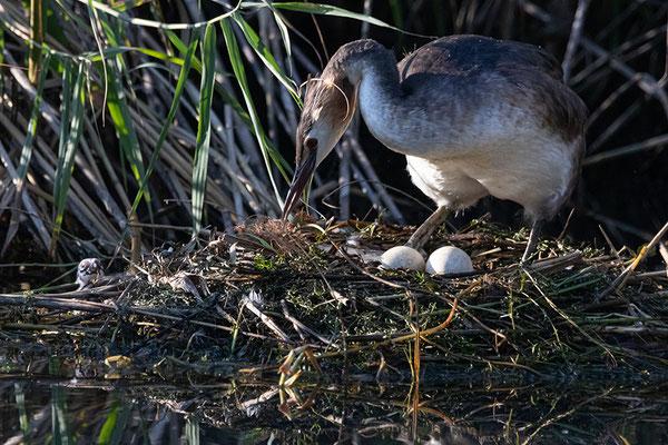 Es liegen noch 2 Eier im Nest - was ist denn da ganz links?