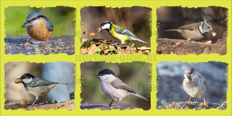 Nr. 19   NUR ALS POSTKARTE  INKL. KUVERT  Waldvögel:   Kleiber, Kohlmeise, Haubenmeise, Tannenmeise, Sumpfmeise, Sperling/Spatz