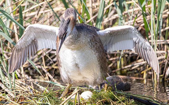 Noch liegen 3 Eier im Nest