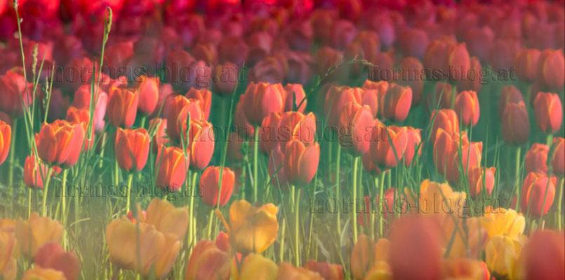 29   Tulpen 1