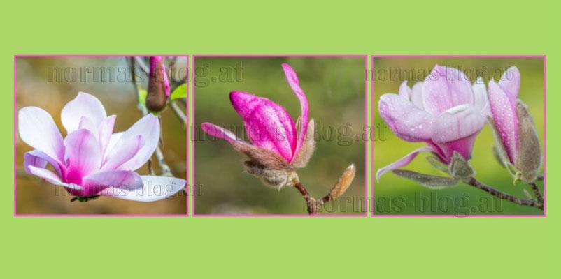 30 Magnolien