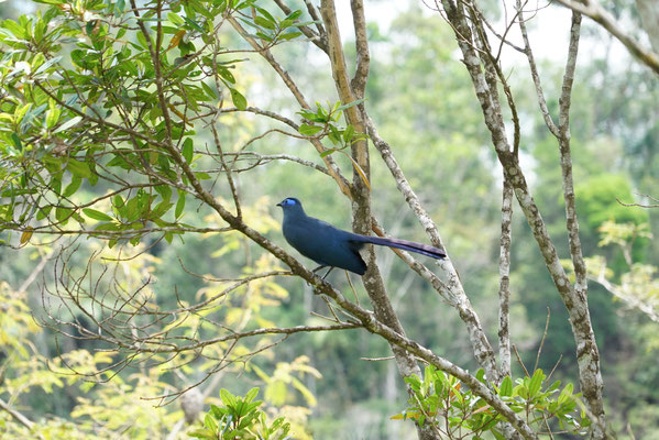 Coua bleu (Coua caerulea) - Photo Olivier Behra