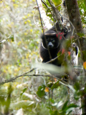 Indri indri - Photo Lorène Migeat