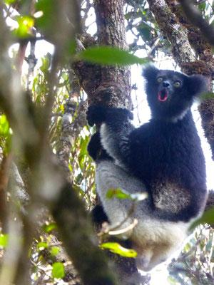 Indri Indri - Photo Lorène Migeat