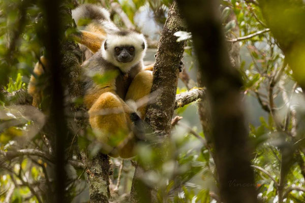 Propithecus diadema - Photo par Vincent Romera