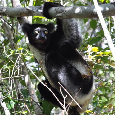 Le grand Indri Indri- Photo Olivier Behra