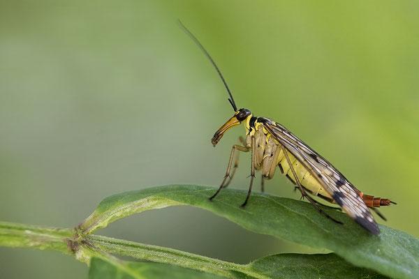 Schorpioenvlieg (vrouw)