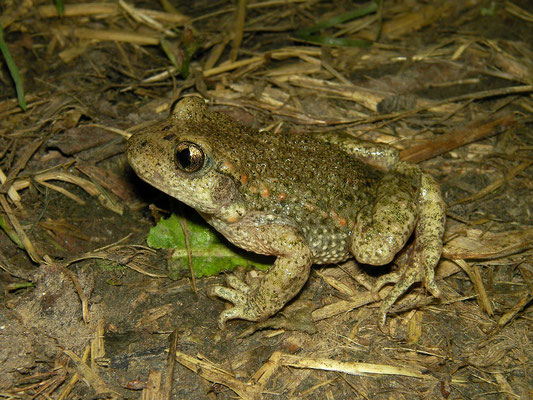 Midwife Toad (Alytes obstetricans)