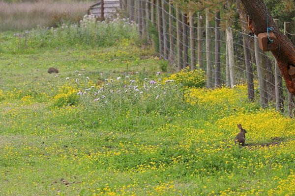 European Rabbits (Oryctolagus cuniculus)