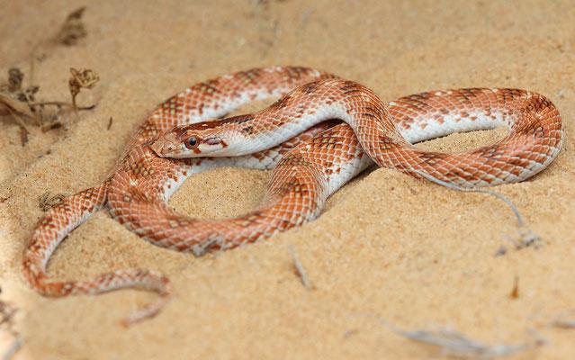 Crowned Leaf-nosed Snake (Lytorhynchus diadema) orangy specimen