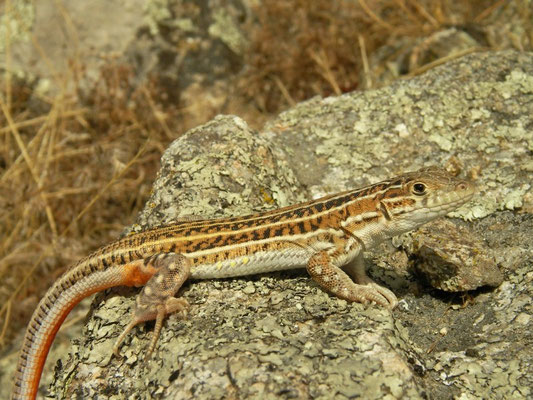 Spiny-footed Lizard (Acanthodactylus erythrurus) adult, Sistema Central, Spain, August 2013