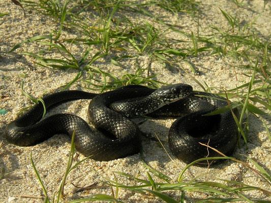Grass Snake (Natrix natrix persa) melanistic individual, Vadu, Romania, October 2014