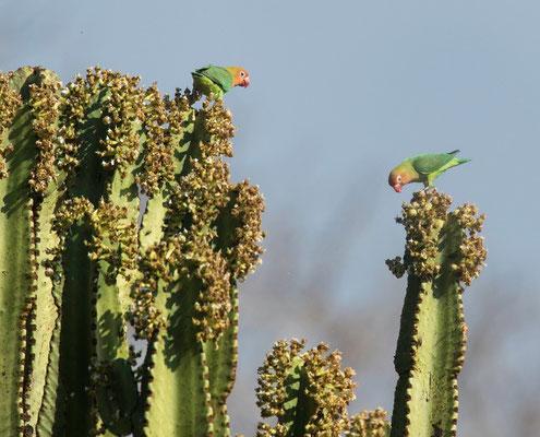 Lilian's Lovebird (Agapornis lilianae)