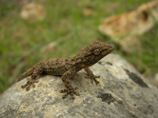 Moorish Gecko (Tarentola mauritanica), Menorca, Spain, October 2010