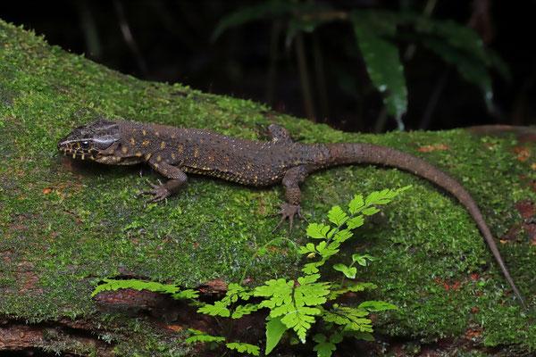 Yellow-spotted Tropical Night Lizard (Lepidophyma flavimaculatum)