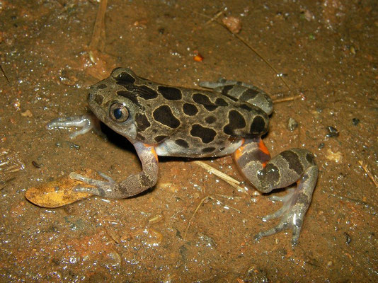 Red-legged Running Frog (Kassina maculata)