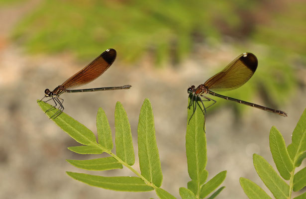 Copper Demoiselle (Calopteryx haemorrhoidalis) females