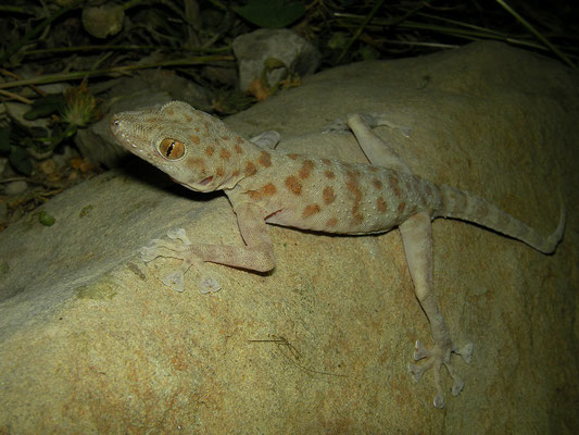 Gray Leaf-toed gecko (Asaccus griseonotus)