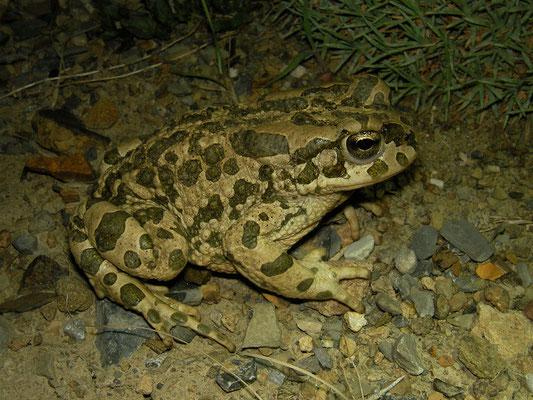 Turan Toad (Bufotes turanensis)