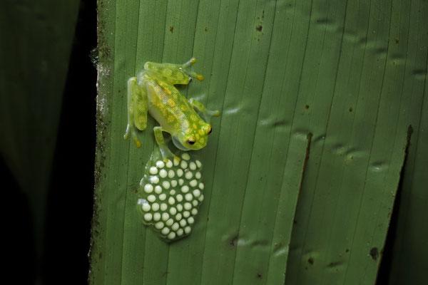 Reticulated Glass Frog (Hyalinobatrachium valerioi) male guarding an egg clutch.